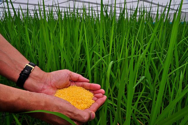 beras-emas-FAO_1574427293