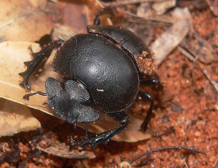 190211-kumbang-kotoran_1549907214-720x553